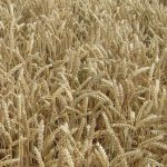 Bio-Saatgut-Angebot